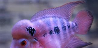 การเลี้ยงปลาหมอสี