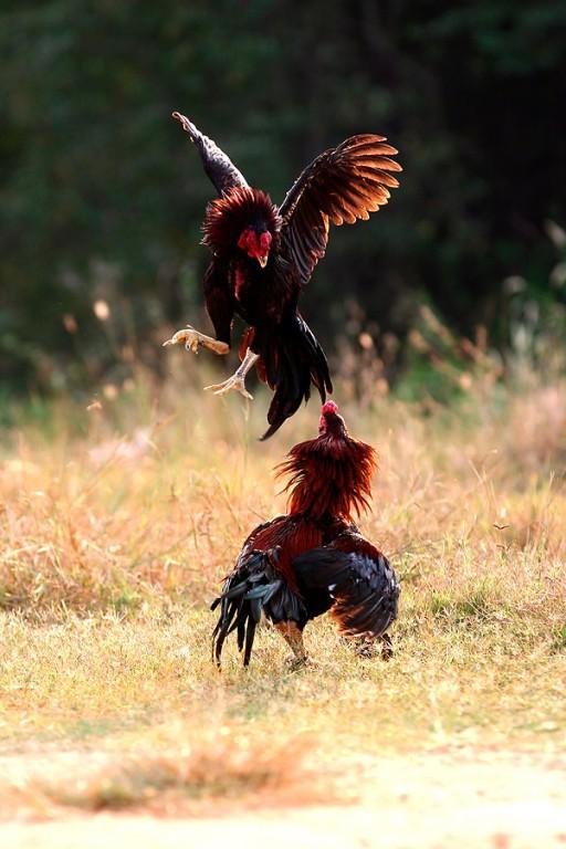 ไก่ชนไทยสายพันธุ์ต่างๆ