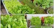 วิธีการปลูกผักในกระถาง