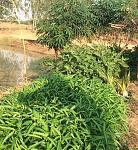 ผักสวนเก่า เก็บผักยังชีพช่วงโควิด Easy Vegetable for living Covid-19 crisis
