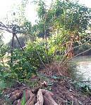 มันห้านาทีเหลืองเชื่อม Yellow Cassava Root Boiled Sugar