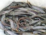 ซื้อลูกปลาดุกสวยๆ ที่ห้วยเสนง สุรินทร์ ราคาตัวละ 1 บาท มาปล่อยเลี้ยงในบ่อท้ายนา