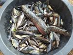 ขนาดของปลาดุกบิ๊กอุยอายุหนึ่งเดือนครึ่งที่ปล่อยในนาข้าว