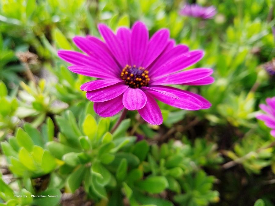 เดซี่สีม่วง (Purple Daisy)