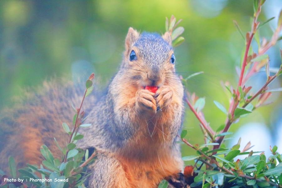 กระรอกเทา Eastern gray squirrels