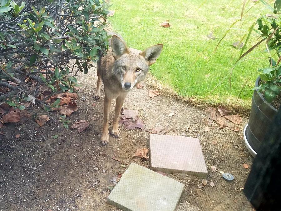 เล่าเรื่อง หมาป่าโคโยตี้ coyote