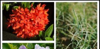 ดอกไม้วันไหว้ครู ดอกเข็ม หญ้าแพรก ดอกมะเขือ (วันไหว้ครูของเด็กๆ)